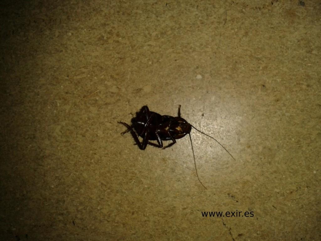 cucaracha negra
